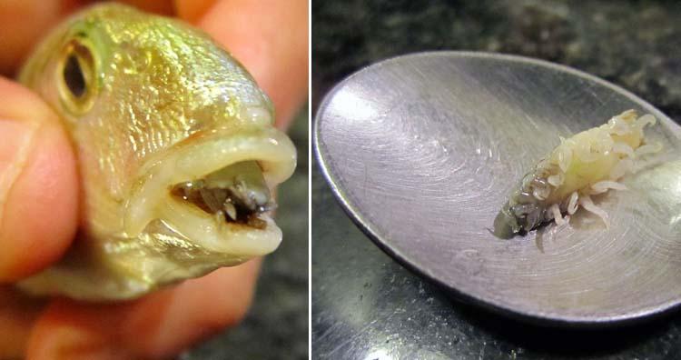 Cymothoa exigua parasite