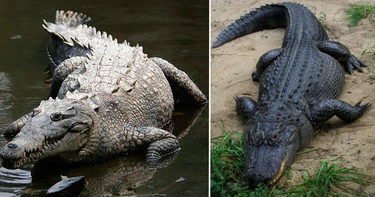 Crocodile & Alligator