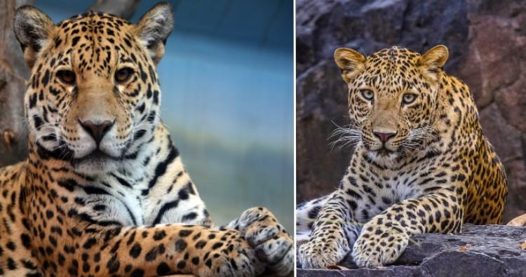 Jaguar & Leopards
