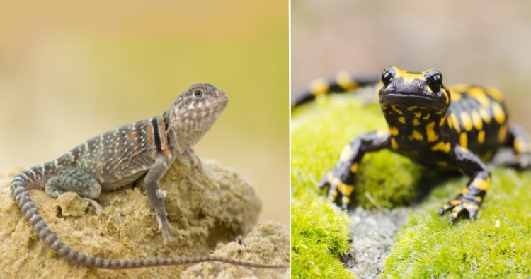 Lizard & Salamander