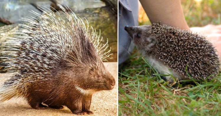 Porcupine & Hedgehog