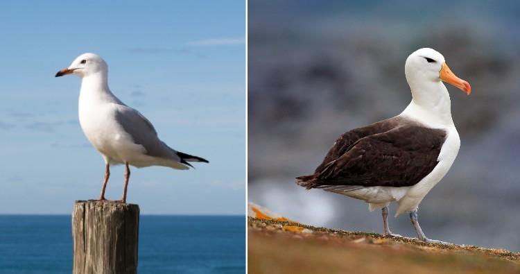 Seagull & Albatross