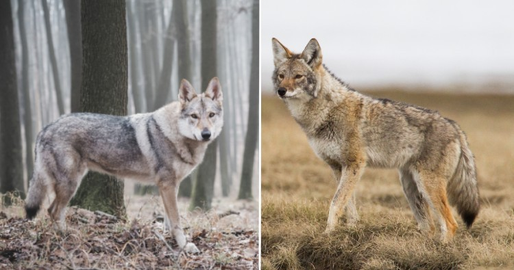 Wolf & Coyote