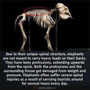 Elephant spine injury
