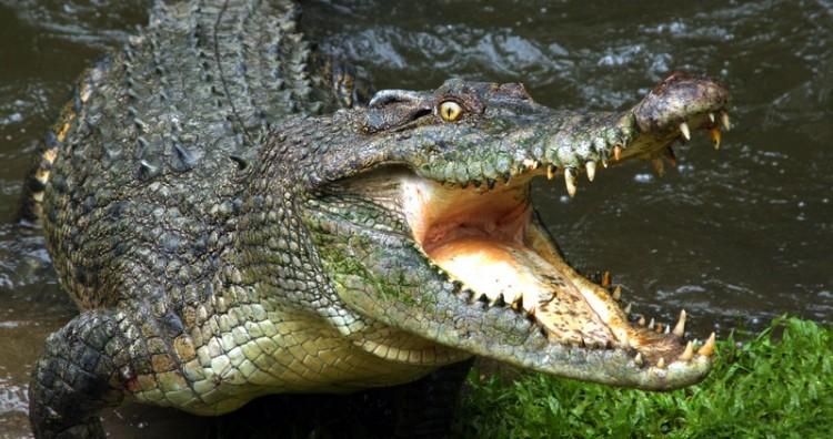 Crocodile gallop