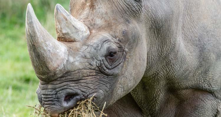 Rhino's horn