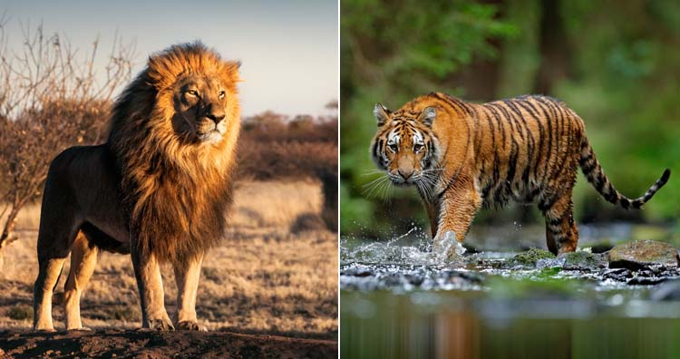 Fight between a lion and a tiger