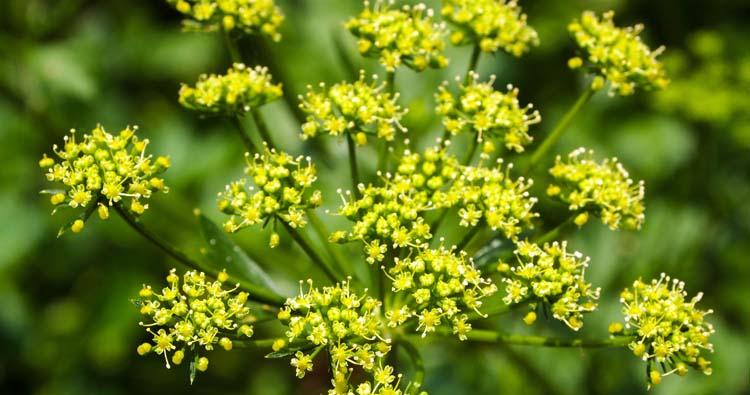 Wild Parsnip Plant