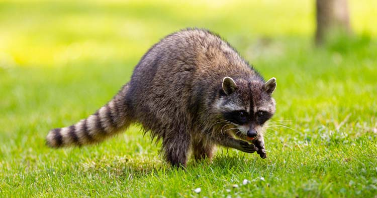 Dangerous wild animals